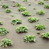 Mulchvlies für Salatanbau 1,6x4,2 m Salat Vlies