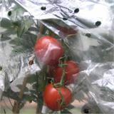 Schutz für die Tomaten am Strauch, ideales Wachstum