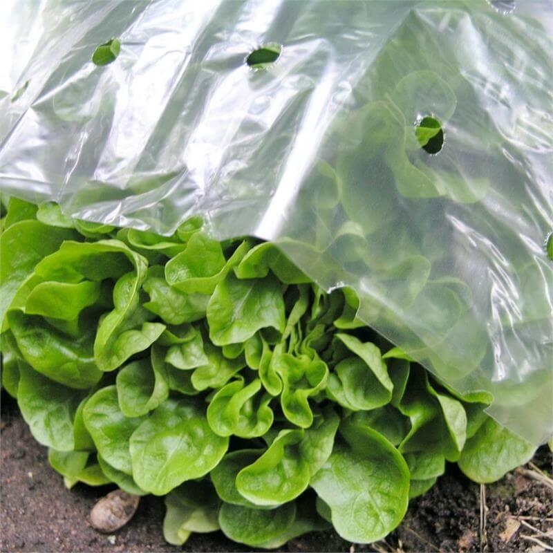 Salat ist unter der Frühbeetfolie gut geschützt Treibhauseffekt