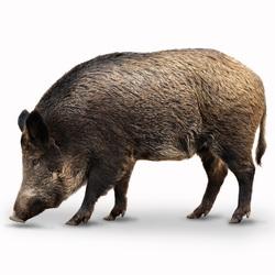 Wildschweinabwehr